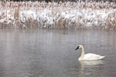 Trumpeter Swan profile. Profile of a single trumpeter swan swimming in open water.  Winter in Wisconsin Stock Photos