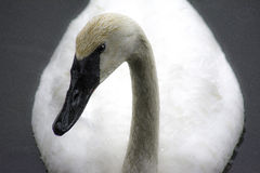 Trumpeter Swan in the Rain Royalty Free Stock Photo