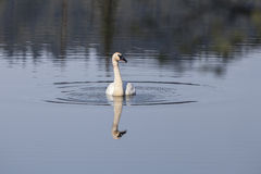 Trumpeter swan with reflections. Single trumpeter swan in an Alaskan lake with reflections Stock Photography