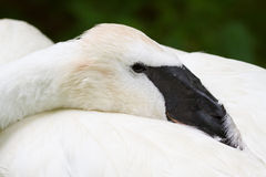 Trumpeter Swan at Rest. A trumpeter swan rest with one leg up Stock Photos