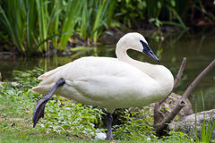 Trumpeter Swan at Rest Royalty Free Stock Photography