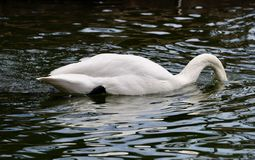 Trumpeter Swan Searching For Food. This is an early Spring picture of a Trumpeter Swan searching for food in the South Pond in Lincoln Park located in Chicago stock photos