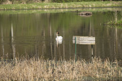 Trumpeter Swan. A single Trumpeter Swan in a reflective pond Royalty Free Stock Photography