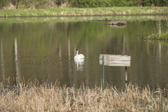 Trumpeter Swan. A single Trumpeter Swan in a reflective pond Royalty Free Stock Photos