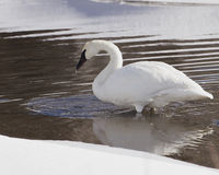 Trumpeter Swan Sipping Water Royalty Free Stock Photos