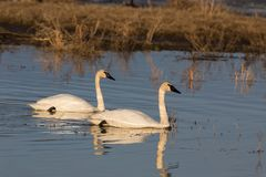 Trumpeter Swan Pair royalty free stock photos