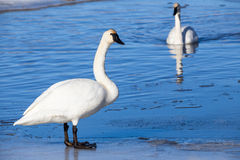 Trumpeter Swan. A trumpeter swan standing on ice Stock Image