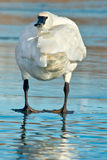 Trumpeter Swan. Standing on the ice grooming its wing Royalty Free Stock Photos