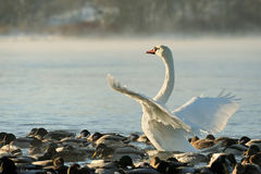 Trumpeter swan stretches its wings Stock Photos