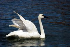 Trumpeter Swan Stretching Wings. One beautiful Trumpeter Swan rearranging it's wings Royalty Free Stock Photos