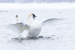Trumpeter swan strutting in front of females Stock Photos