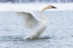 Trumpeter swan strutting Royalty Free Stock Photos