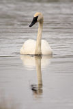 Trumpeter Swan Swimming Royalty Free Stock Image