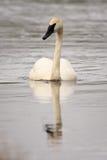 Trumpeter Swan Swimming Royalty Free Stock Image