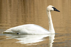 Trumpeter Swan. Swimming across open water Stock Images