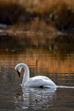 Trumpeter Swan Swimming in Golden Reflections. Beautiful Trumpeter Swan swimming through golden reflections Stock Photos