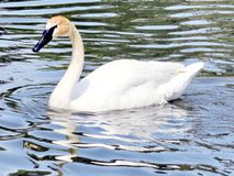 Thornhill trumpeter swan swimming 2016. Trumpeter swan swimming on the Oakbank Pond in Thornhill, Canada, May 21, 2016 royalty free stock photo