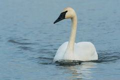 Trumpeter Swan. Swimming in the open water Royalty Free Stock Image