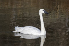 Trumpeter swan swimming in pond in Jackson, Wyoming Stock Photography