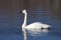 Trumpeter swan swimming in pond in Jackson, Wyoming Royalty Free Stock Photos
