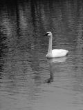 Trumpeter swan swimming with reflection. Cygnus buccinator, commonly known as trumpeter swan, swimming Royalty Free Stock Photography