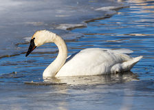 Trumpeter Swan. A trumpeter swan swimming in the water Stock Images