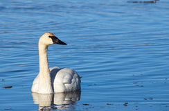 Trumpeter Swan. A trumpeter swan swimming in the water Stock Photos