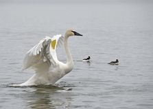 Trumpeter Swan take off. Rare Trumpeter Swan with spread wings lifting out of the water Stock Images