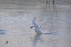A Trumpeter Swan Taking Flight Stock Photos