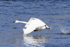 Trumpeter Swan taking of in flight Royalty Free Stock Photos