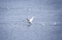 Trumpeter Swan Taking Off. From a Yukon lake in summer with two other swans in the background Stock Photography