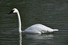 Trumpeter swan. In the water showing the feathers covered in water Stock Photos