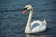 Trumpeter Swan on the water Stock Images