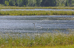 Trumpeter Swan on a wetland Pond Stock Image