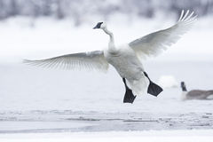 Trumpeter Swan with wings fully extended Stock Photo