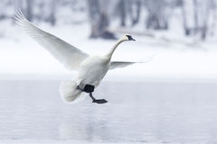 Trumpeter swan with wings spread out Royalty Free Stock Images