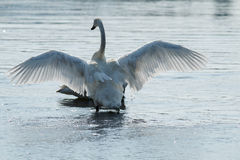 Trumpeter swan with wings spread Stock Image