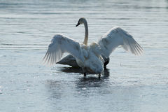 Trumpeter swan with wings spread Stock Photo