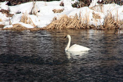 Trumpeter Swan in Winter Royalty Free Stock Photos
