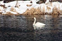 Trumpeter Swan in Winter. Trumpeter Swan (Cygnus buccinator) adult, near First Street Rapids, Deschutes River, Bend, Oregon Royalty Free Stock Photos