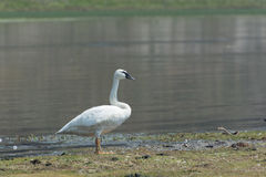 Trumpeter Swan in Yellowstone National Park. A trumpeter swan stands next to the Yellowstone River in Yellowstone National Park Stock Photos