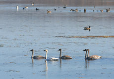 Trumpeter swans. A mother Trumpeter swan and her juveniles at Squaw Creek National Wildlife Refuge Stock Photography