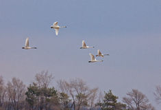 Trumpeter Swans. Profile of Trumpeter Swans in flight Stock Photos