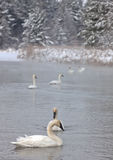 Trumpeter Swans. Focus on the foreground with a group of trumpeter swans swimming in open water.  Cold, winter day Stock Photos
