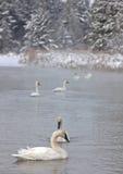 Trumpeter Swans Stock Photos