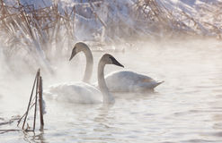 Trumpeter Swans. In the morning light, with mist rising from the water.  Winter in Wisconsin Stock Images