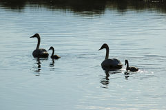 Trumpeter Swans. Silhouetted Trumpeter Swans in a wildlife preserve near Jackson Hole, Wyoming, USA Royalty Free Stock Images