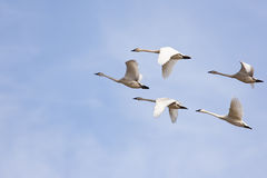 Trumpeter Swans. Flying flock of trumpeter swans Stock Photography