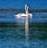 Trumpeter Swans And Cygnets Stock Photos