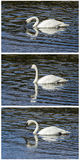 Trumpeter swans collage reflection. The Yellowstone trumpeter white swan collage has reflection in clear blue cold water collection set group Stock Photography